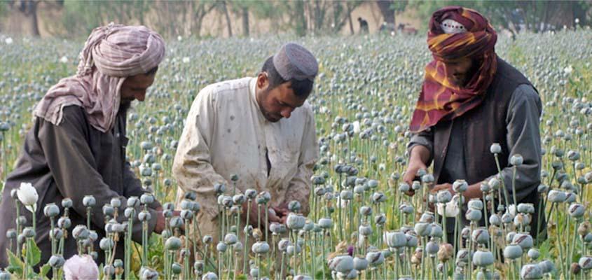Afghanistan opium production up 43% - UN drugs watchdog