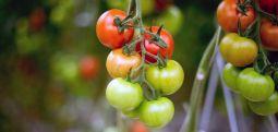 Kanser ve kalp hastası olmak istemiyorsanız domates tüketin