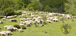 Şar dağında koyun kırpa merasimi şölen havasında geçiyor