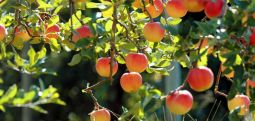 Starting from next week fruit growers to receive subsidies