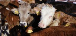 İşte Şarbonu Türkiye'ye getiren uygulama... İthal hayvanlar için veteriner zorunluluğu bitti
