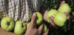 Hükümetten tarımcıya yardım: Elma üreticilerine yeni sübvansiyon