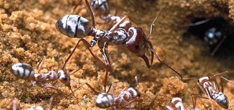 Dünyanın en hızlı karıncası ne kadar hıza ulaşabiliyor?