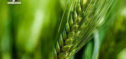 Buğdayın hüzünlü ve destansı hikayesi