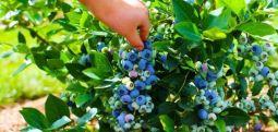 Boronica është fruti më i shëndetshëm në botë