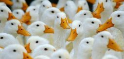 Унгарија: Откриен вирус на птичји грип на фарма за патки