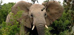 Botsvana'da toplam 350 fil gizemli bir şekilde öldü