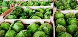 Strumica's cabbage growers struggling to keep up with growing demand