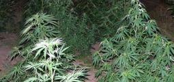 Sekuestrohen bimë narkotike në Tearcë të Tetovës